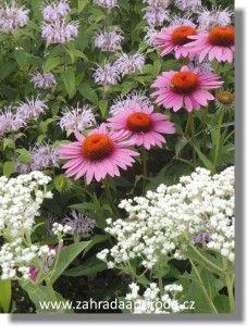 Echinacea purpurea Plants, Painting, Painting Art, Paintings, Plant, Painted Canvas, Drawings, Planets