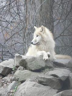 Blue-Eyed White Wolf Photo by DranzerWolborg | Photobucket
