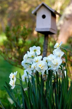 Spring /Daffodils grow surrounding a bird house Spring Flowers, White Flowers, Flowers Garden, Beautiful Gardens, Beautiful Flowers, Beautiful Pictures, Spring Bulbs, Spring Sign, Welcome Spring