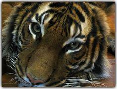 Tiger di WOLLE H