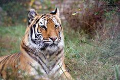 Ohio Rescue video - Tigers in America Big Cat Rescue, Big Cats, Camilla, Tigers, Cute Animals, Ohio, America, Pretty Animals, Columbus Ohio