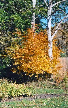 Saskatoon (Amelanchier alnifolia) at Squak Mountain Nursery