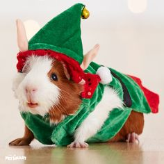 Santa's little helper is the cutest guinea in a elf costume for the #pawlidays.
