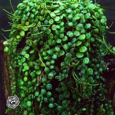 Peperomia rotundifolia, Rotterumpe, Piperaceae  Pepperfamilien, STUE
