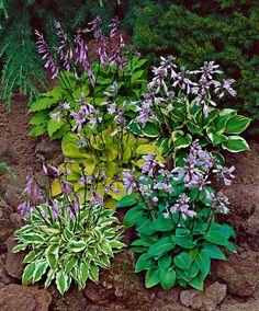 Hostas ...wonderful in a shade garden!