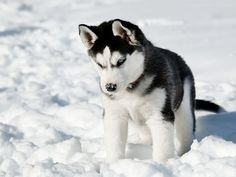 A beautiful Husky puppy