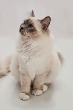 "The Birman, also called the ""Sacred Cat of Burma"""