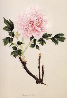 peony birth flower april- love the light pink and dark green