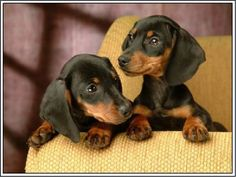 $6.39 - Packof4 Dachshund Puppy Dog Puppies Dogs Stationery Greeting Notecards/Envelopes #ebay #Collectibles