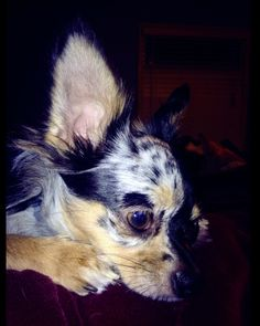 Maya Azul Blue Merle Long Hair Chihuahua This Looks