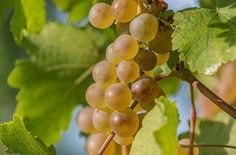 #hungary#travel #autumn #ikozosseg #mik #instadaily #photooftheday #rural #nature #magyarorszag #balatonakali #fenyehegy #wineyard #grapes #rizling #harvest