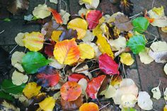 colorful leaves! learn what trees give the most colorful of leaves at www.fiskars.com