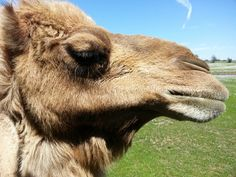 Up close camel ... very friemdly animal!
