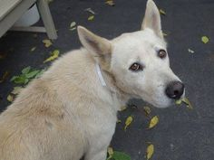 SAFE --- Manhattan Center   CHICA - A1018255 *** EXPERIENCED HOME ***  FEMALE, WHITE, GERM SHEPHERD / CHOW CHOW, 6 yrs OWNER SUR - EVALUATE, NO HOLD Reason MOVE2PRIVA  Intake condition EXAM REQ Intake Date 10/21/2014  Main thread: https://www.facebook.com/photo.php?fbid=892904414055772