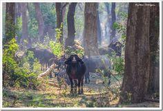 Buffalo in the misty forest - Zambezi River