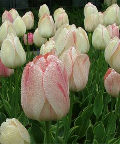 Darwin Hybrid Tulip 'Silverstream' ................ Pale Yellow that develops Pink-Red streaks with age. Also has variegated foliage!