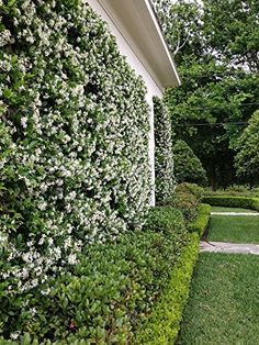 Amazon.com : *FRAGRANT* STAR JASMINE VINE *25 seeds*RARE*showy*#1014 : Flowering Plants : Patio, Lawn & Garden