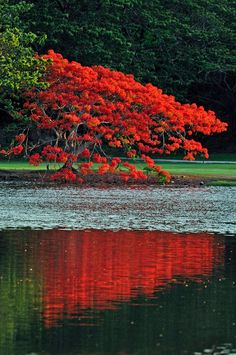 Royal Poinciana (Fire Tree) reflection of this Spanish Flamboyan. Delonix Regia, All Nature, Amazing Nature, Beautiful Islands, Beautiful World, Beautiful Things, Flamboyant, Colorful Trees, Enchanted Island