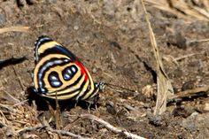As borboleta do gênero Callicore apresentam um padrão gráfico na parte de baixo das asas que lembram números ou letras do alfabeto. Infelizmente, devido à sua beleza, essas borboletas são mortas para serem utilizadas na confecção de bijuterias - Foto: Fábio Paschoal