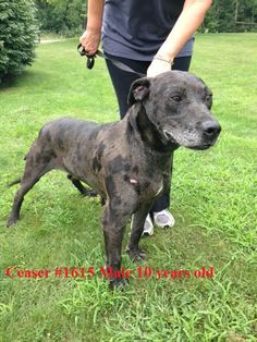 "((URGENT ~ GASSING SHELTER)) in W. VA. ~ Ceaser is a very loveable 10 yr old Senior dog who's super sweet & just wants a loving home & family to call his own. Listed Great Dane - looks like there's more Catahoula in his blend. In need of a loving #adopter / #rescue at HUMANE SOCIETY OF RALEIGH COUNTY 325 Gray Flats Rd Beckley WV 25802 rcpets@hotmail.com P 304-253-8921..PLS HELP HIM FIND A LOVING HOME FOR HIS ""RETIREMENT YEARS""! URGENT!"