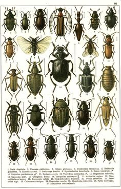 """G.G. Yakobson (1905-1915) - """"Beetles of Russia"""": table 80"""