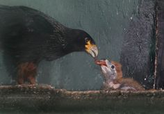 Staff at Paradise Park, in Hayle, Cornwall, UK, are thrilled that two Striated Caracara chicks have hatched and are doing well. Check out ZooBorns to learn more and see more! http://www.zooborns.com/zooborns/2016/08/striated-caracara-chicks-hatch-at-paradise-park.html
