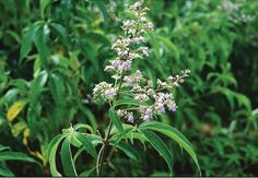 Lagundi – used to treat asthma, cough and fever. dysentery, colds and pain in any part of the body as in influenza, skin diseases (dermatitis, scabies, eczema) and wounds, headache, rheumatism, sprain, contusions, insect bites and also for aromatic bath in sick patients. - See more at: http://www.rehkingsherbal.com/product1.php#sthash.pII4u2MO.dpuf  Important Reminder: Kings Herbal has no approved therapeutic claims and should not be used as treatment for any kind of illness.  #rehkingsherba