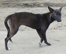 Askal is a mixed-breed dog in the Philippines.