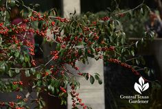 possumhaw holly leaves winter berries Central Texas Gardener