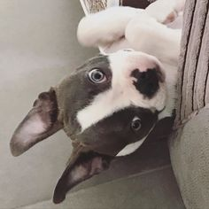Boston Terrier, Pitbulls, Puppies, Dogs, Animals, Animales, Boston Terriers, Animaux, Doggies