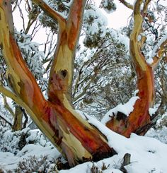 Snow Gums in the Snowy Mountains, NSW, Australia just have the most gorgeous, rich colours against the white snow. Australian Plants, Winter Scenes, Snow Scenes, Winter Beauty, Amazing Nature, Cool Photos, Amazing Photos, Mother Earth, Landscape Photography