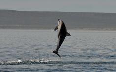 https://flic.kr/p/Bz2pmq | dusky dolphins from Argentina