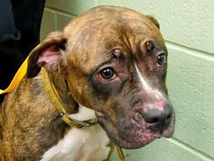 TO BE DESTROYED - 11/03/14 Manhattan Center -P My name is BRANDY. My Animal ID # is A1018425. I am a female br brindle pit bull mix. The shelter thinks I am about 2 YEARS old. I came in the shelter as a STRAY on 10/22/2014 from NY 10462, owner surrender reason stated was STRAY.