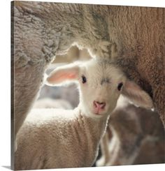 Yes and Amen Photography Premium Thick-Wrap Canvas Wall Art Print entitled Lamb Peeks Around Mom, None