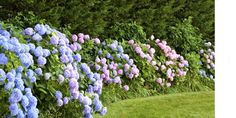 """The island of Faial in the Azores (located near Portugal) is known as the """"blue island"""" because of the great number of hydrangeas growing on the island."""