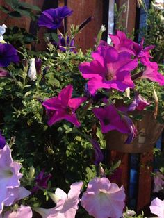 Handing flow Petunia baskets! Petunias, Flow, Baskets, Canning, Plants, Hampers, Home Canning, Basket, Plant