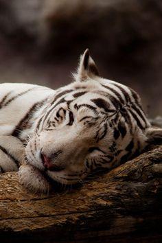 Bengal Tiger ~ By Vadim Polyakov