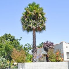 How To Care For Palm Trees With Epsom Salt