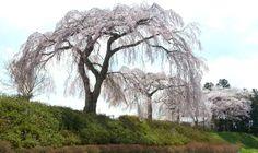 世界遺産・平泉旅行。毛越寺近くの立派な桜 - World heritage site, Hiraizumi in Japan.