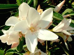 OLEANDER HAUS  Nerium Oleander Gotsis Atalante Nerium, Gardening, Plants, House, Lawn And Garden, Plant, Yard Landscaping, Planting, Planets