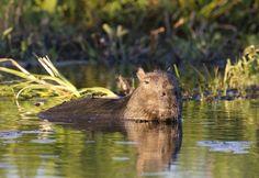 Capybara in Ibera Wetlands. by Richard McManus on 500px