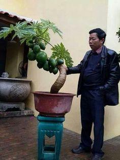 Papaya bonsai