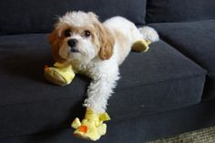 Duke is a Cavachon (half Cavalier King Charles/half Bichon Frise mix) in a pair of duck slippers