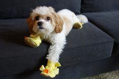 Duke is a Cavachon (half Cavalier King Charles/half Bichon Frise mix) in a pair of duck slippers