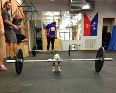 Looks like everybody is getting in on this #crossfit thing.  Puppy Power Lifting.