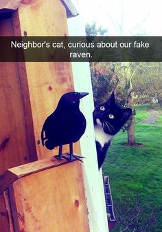 Funny snapchat meme of a cat looking puzzled at a wooden fake raven bird.