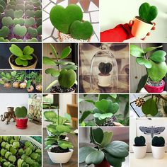 Hoya Hearts great for Valentine's Day but also great for the forgetful gardener! The Hoya kerrii is a heart shaped, low maintenance succulent requiring very little water. It can also have gorgeous blooms! Succulent Terrarium, Cacti And Succulents, Planting Succulents, Garden Plants, Indoor Plants, Planting Flowers, Unusual Plants, Exotic Plants, Pot Plante