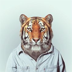 """Spanish photographer Yago Partal created this funny photographic project called """"Zoo Portraits"""", featuring animals dressed as humans. You can check out the full series and buy prints on his website. via Abduzeedo Zoo Portraits Zoo Animals, Funny Animals, Cute Animals, Art Tigre, Tiger Zoo, Bengal Tiger, Big Tiger, Tiger Head, Zoo Book"""
