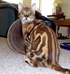 Bengal Cat -This cat is a mix of a domestic feline and an Asian Leopard Cat.