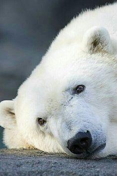 Thoughtful polar bear @meetanimals